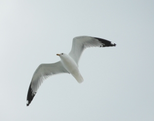 Photo by Bryan Stevens A Ring-billed Gull in flight.