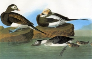 Early North American naturalist John James Audubon painted the Long-tailed Duck in various life stages, including ducklings.