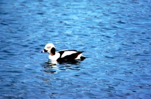 "Photo by U.S. Fish & Wildlife Service  The Long-tailed Duck, pictured here, was once known as the ""Oldsquaw."""