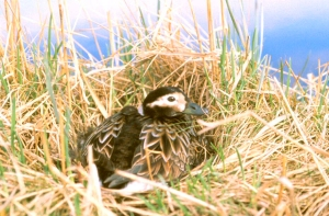 Photo by U.S. Fish & Wildlife Service A female Long-tailed Duck is shown on her nest on the Alaskan tundra.