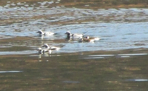 Photo by Bryan Stevens Six Long-tailed Ducks photographed last month on Holston Lake.