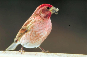 Purple_finch