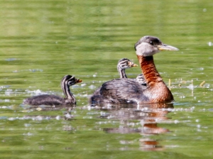 Photo by Donna Dewhurst/U.S. Fish & Wildlife Service A Red-necked Grebe with young is shown on an Alaskan wetland.
