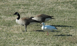 Photo by Bryan Stevens  A Ross's Goose, foreground, is shown with two Canada Geese. The photo makes plain the small size of the Ross's Goose.