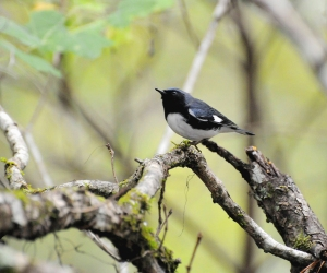 Photo by U.S. Fish & Wildlife Service/Mark Musselman Black-throated Blue Warblers are among the birds than can often be found at Hampton Creek Cove during a Spring Rally.
