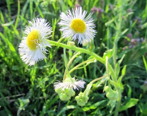 Photo by Bryan Stevens Daisy Fleabane will be among the many blooming wildflowers to welcome rally attendees.