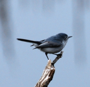 Photo Courtesy of Jean Potter Blue-gray Gnatcatchers are tiny, energetic bundles of feathers.