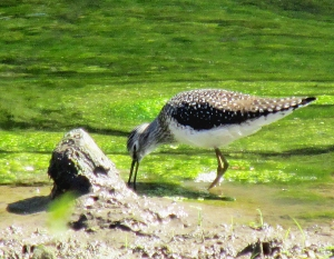 Photo by Bryan Stevens A Solitary Sandpiper seeks food at the water's edge in a wetland at Erwin Fishery Park.