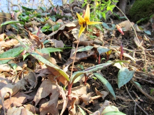 Photo by Bryan Stevens  Wildflowers, such as this Trout Lily, provided the original inspiration for the annual Spring Rally.