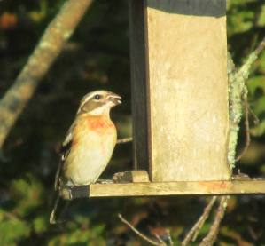 Photo by Bryan Stevens A young male Rose-breasted Grosbeak visits a feeder in September of 2013. Young males resemble females but show a splash of orange on the breast that will be replaced the following spring by the familiar rosy-red patch.