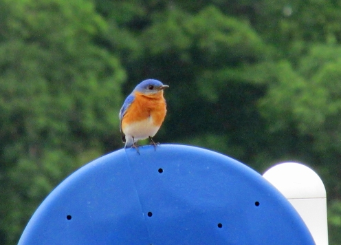 Photo by Bryan Stevens A male Eastern Bluebird perched on playground equipment at Winged Deer Park in Johnson City.