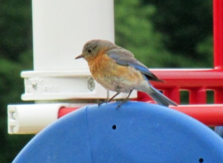 Photo by Bryan Stevens The female Eastern Bluebird is not quite as brightly colored as her mate.