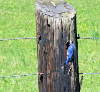 Photo by Bryan Stevens A male Eastern Bluebird inspects a nesting cavity in a wooden fence post.