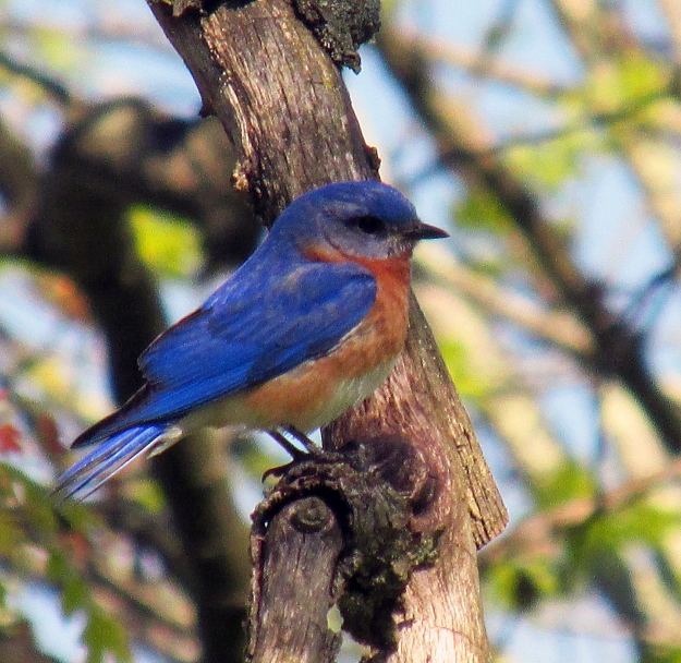 Photo by Bryan Stevens The male Eastern Bluebird is beloved by many bird enthusiasts.