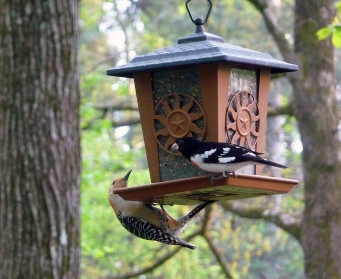 Photo Courtesy of Byron Tucker A Rose-breasted Grosbeak joins a Red-bellied Woodpecker at a feeder in Atlanta.