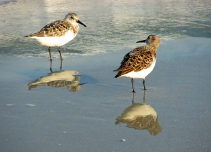 Photo by Bryan Stevens A pair of Sanderlings at surf's edge at Huntington Beach State Park.