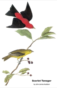 A print of Scarlet Tanagers by early North American naturalist and painter John James Audubon.
