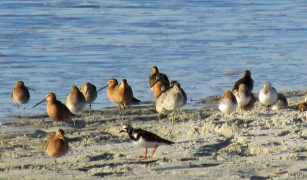 A mixed flock of Short-billed and Long-billed Dowitchers and a Ruddy Turnstone at Huntington Beach State Park.