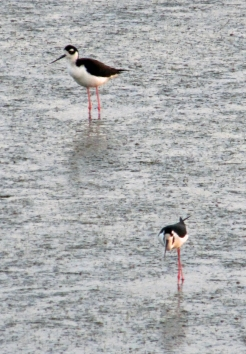 Photo by Bryan Stevens Two Black-necked Stilts forage along the causeway wetland at Huntington Beach State Park.