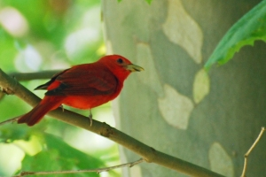 Photo Courtesy of Jean Potter The Summer Tanager is the only all-red bird in North America. It is less common in Northeast Tennessee than the related Scarlet Tanager.
