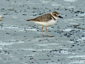 A Wilson's Plover in the dunes at Huntington Beach State Park in South Carolina.