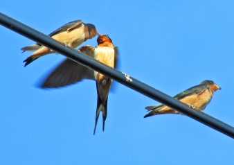 Photo by Bryan Stevens A Barn Swallow makes a food delivery to young waiting somewhat patiently on a utility line.