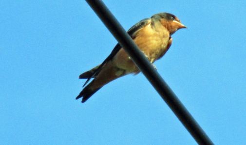 Photo by Bryan Stevens A young Barn Swallow perched on a utility line at the Bell Cemetery in Limestone Cove awaits a delivery of food from its parents.