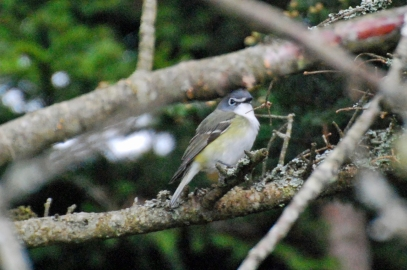 Photo by Jean Potter The Blue-headed Vireo prefers wooded habitats at higher elevations.