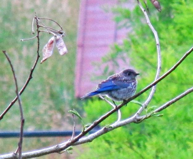 Bluebird-BabeInMimosa