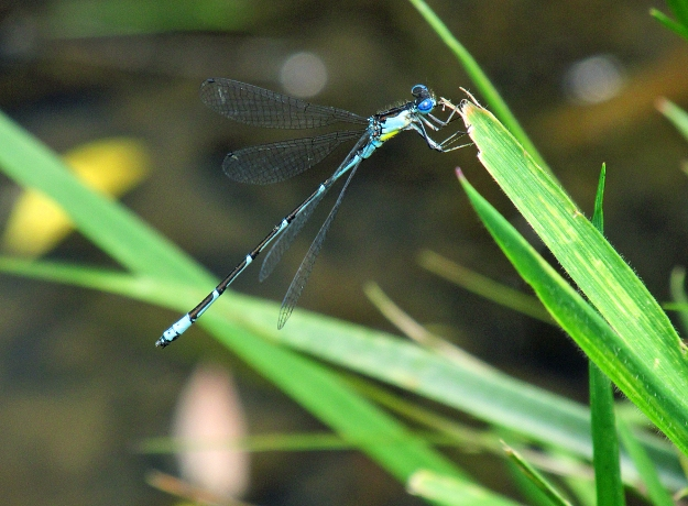 Photo by Bryan Stevens The Aurora Damselfly is a study in simple elegance.