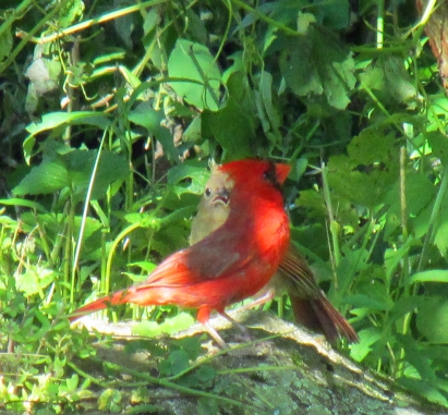 Photo by Bryan Stevens A male Northern Cardinal tends to a fledgling hidden near the ground in thick brush.