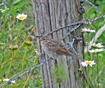 Photo by Bryan Stevens A young Chipping Sparrow perches on a barbed wire fence at the Bell Cemetery in Limestone Cove.
