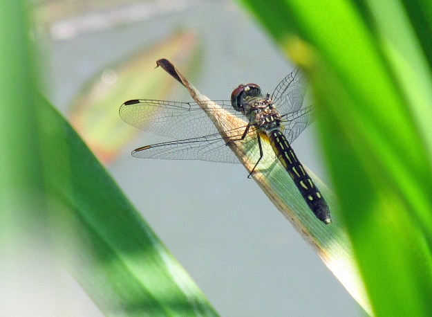 Photo by Bryan Stevens A glimpse through the vegetation at one of the pond's most voracious predators. Dragonflies consume many other species of insects, including some that are considered pests. Pictured is a female Blue Dasher.