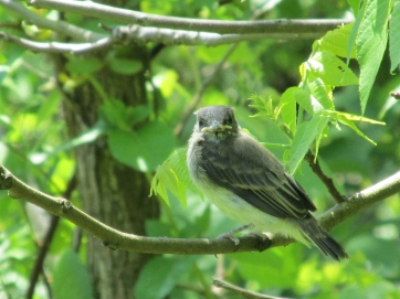 Photo by Bryan Stevens A young Eastern Phoebe perches patiently on a branch while waiting for a parent to bring food.