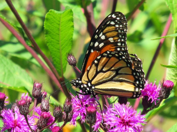 Photo by Bryan Stevens A Monarch sips nectar from blooming Ironweed.