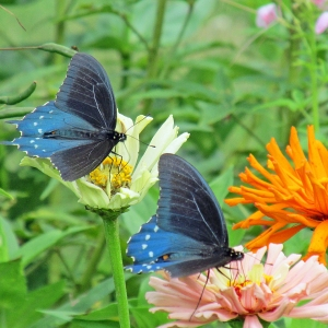 PipeVineSwallowtails