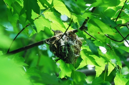 Photo Courtesy of Jean Potter A red-eyed vireo sits on its basket-shaped nest.