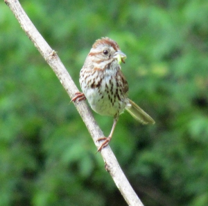 Photo by Bryan Stevens A Song Sparrow brings a beakful of caterpillars back to the nest to feed young.
