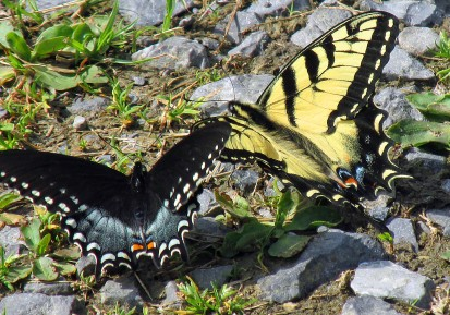 Swallowtails_edited-1