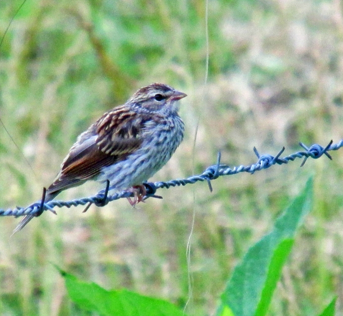 Photo by Bryan Stevens  Many young birds, such as this Chipping Sparrow on a barbed wire fence in Limestone Cove in Unicoi County, look almost nothing like their parent.