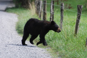 Photo Courtesy of Jean Potter A Black Bear cub photographed at Cades Cove.