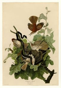 Early American naturalist and artist John James Audubon painted a dramatic scene of Brown Thrashers defending their nest from an attacking snake.