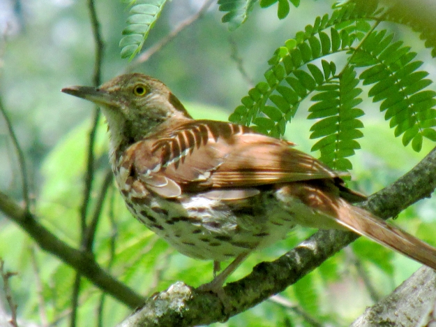 BrownThrasher-MIMOSA