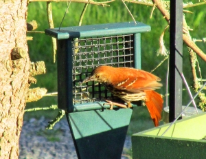 Brown Thrasher visits a suet feeder. The thrasher diet consists of everything from berries and seeds to insects and even small reptiles.