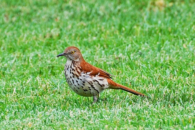 Photo Courtesy of Jean Potter A Brown Thrasher scans the grass for insect prey.