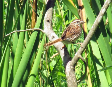 Photo by Bryan Stevens  A total of 231 Song Sparrows, such as the one pictured here, were found during the recent Summer Bird Count.
