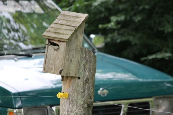 Photo courtesy of Mary Taylor Beierle A tree swallow peeks inside a nest box at the Beierle home.