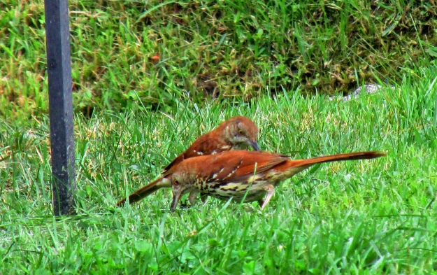 Photo by Bryan Stevens A pair of Brown Thrashers forage for food on the ground below a feeder.