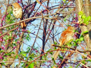 Photo by Bryan Stevens   A pair of Brown Thrashers perch near a fence at Tipton-Haynes Historic Site in Johnson City.