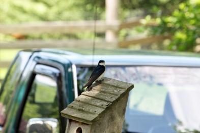 TreeSwallow-MaryBierlie